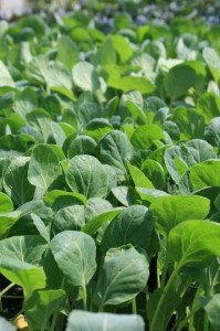 cole crops