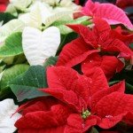 Proper care for Poinsettias...don't over water and avoid cold drafts