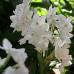 Paperwhites for forcing indoors