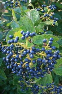 Viburnum is a workhorse in the landscape providing 3 to 4 seasons of interest....easy to grow and attracts wildlife!