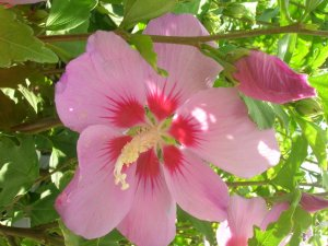 Hibiscus syriacus also known as Althea or Rose of Sharon