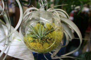 Tillandsia and moss in glass globe