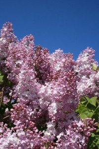 An aroma from your childhood is locked in your brain's memory for life....like the blooming lilacs in Grandma's garden