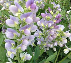Baptisia one of my favorite perennials in the landscape!
