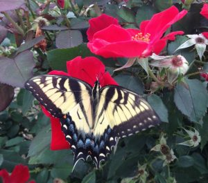 Bright red roses are a draw for butterflies