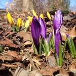 Emergence Crocus