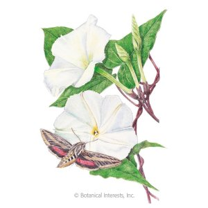 Botanical Interests seeds (Picture of Moonflower with a Sphinx Moth)
