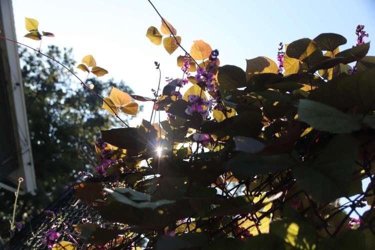 Hyacinth Bean 'Ruby Moon'