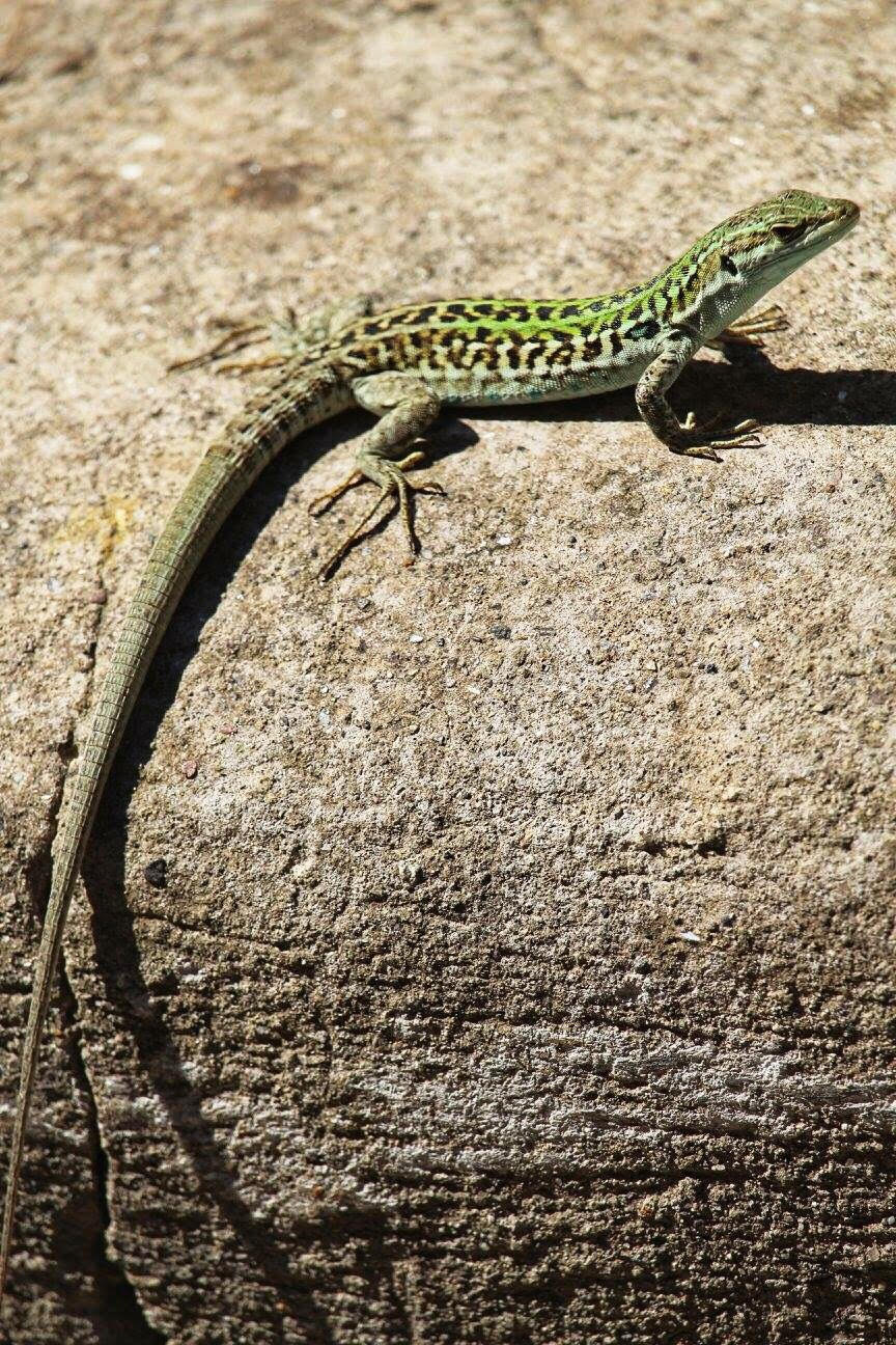 lizard in capri