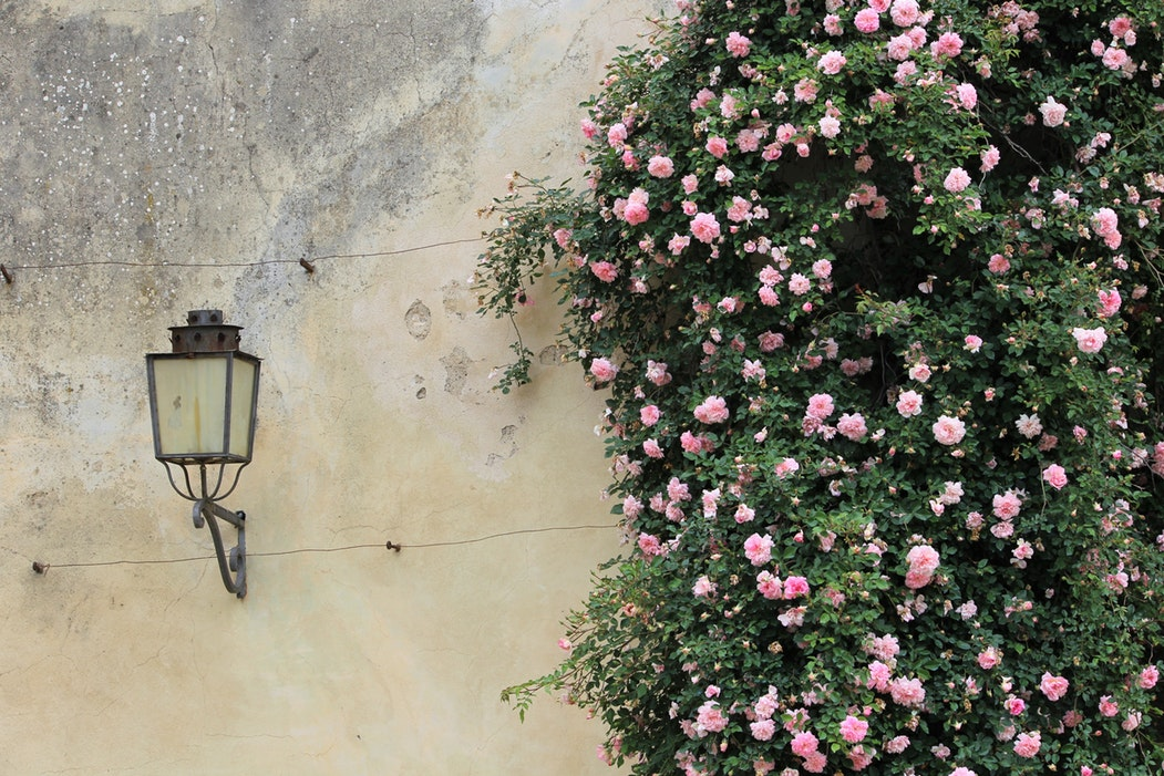 Flowers climb up a wall in a garden in Florence
