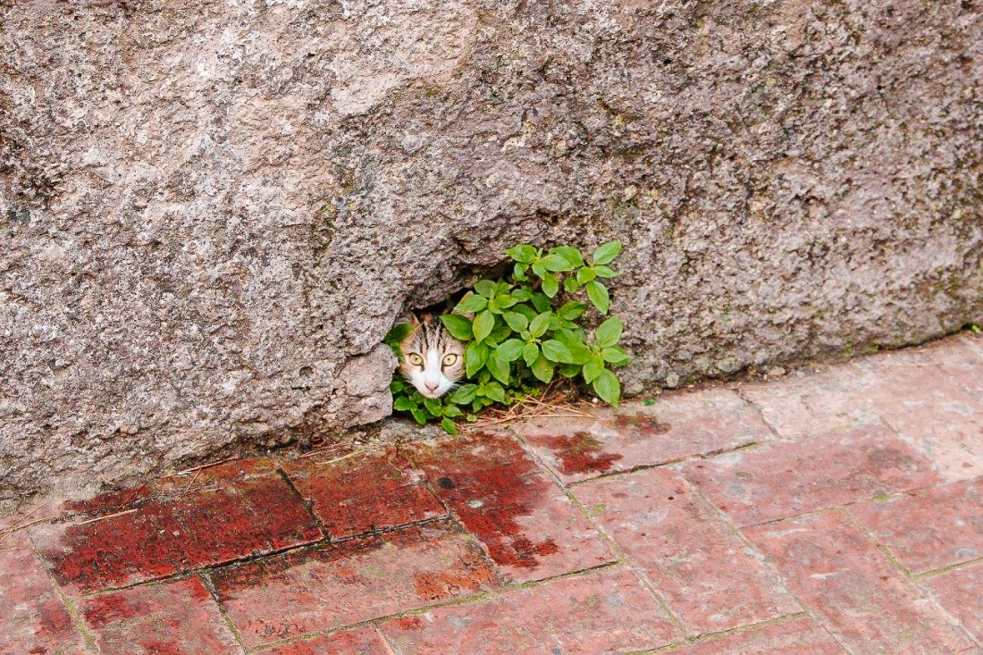 A young cat peeks out from a hole in a wall on one of Capri's streets.