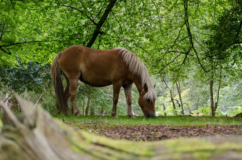 A New Forest pony grazing
