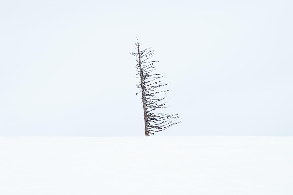 lonely and crooked tree in a snow environment