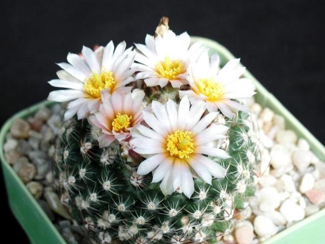 3 Arti Bunga Kaktus yang Menakjubkan