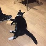 Tuxedo cat at Lady Dinah's Cat Cafe