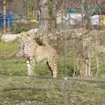A cheetah at the Schonbrunn Zoo