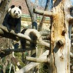 Giant panda at the Schonbrunn Zoo