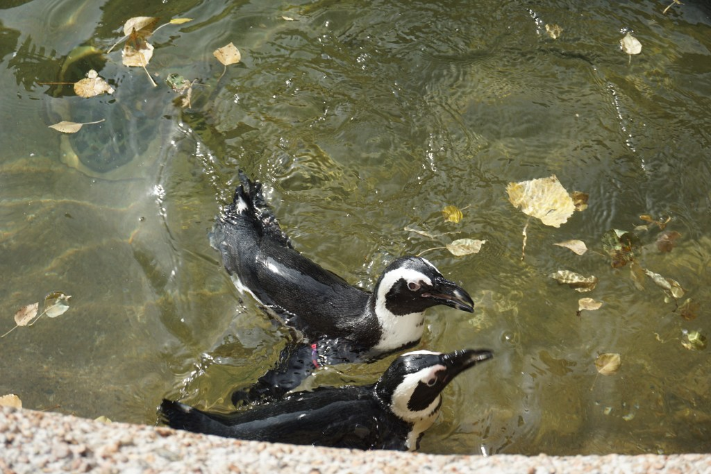 Penguins at the Denver Zoo in Colorado