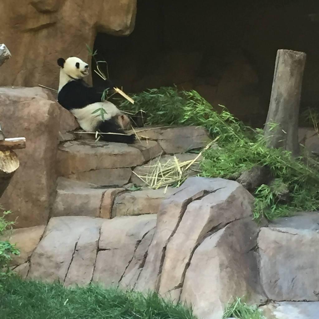 A panda at the San Diego Zoo