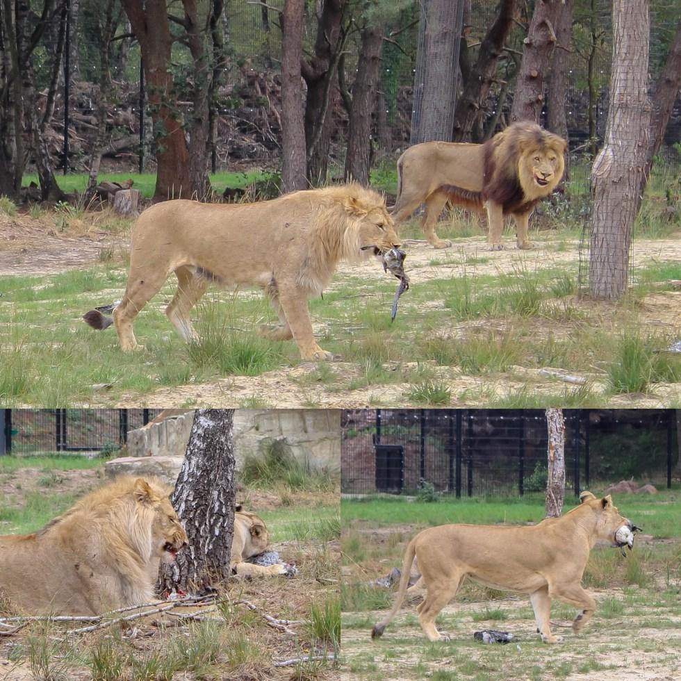Beekse Bergen, Hilvarenbeek, safari resort, safari, bij de leeuwen, safaripark, slapen bij de leeuwen, vakantiepark, leeuwen, thathomepage, voederen