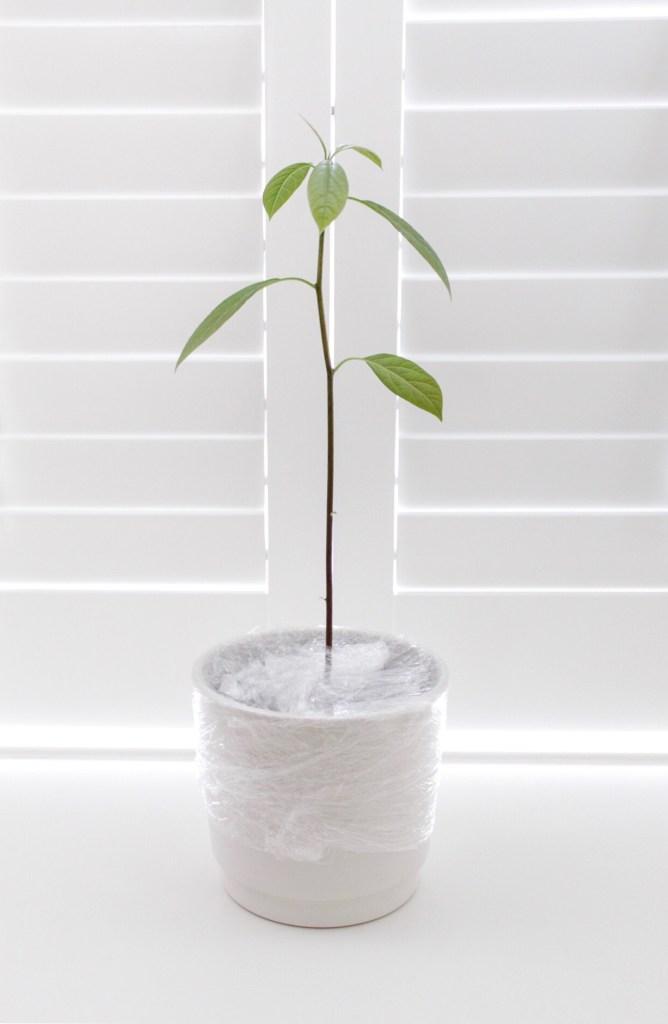 avocadoplant, kweken, rouwvliegjes, rouwvarenmug, bestrijden, huishoudfolie, thathomepage, avocadoplant verzorgen, interieurinspiratie, thathomepage