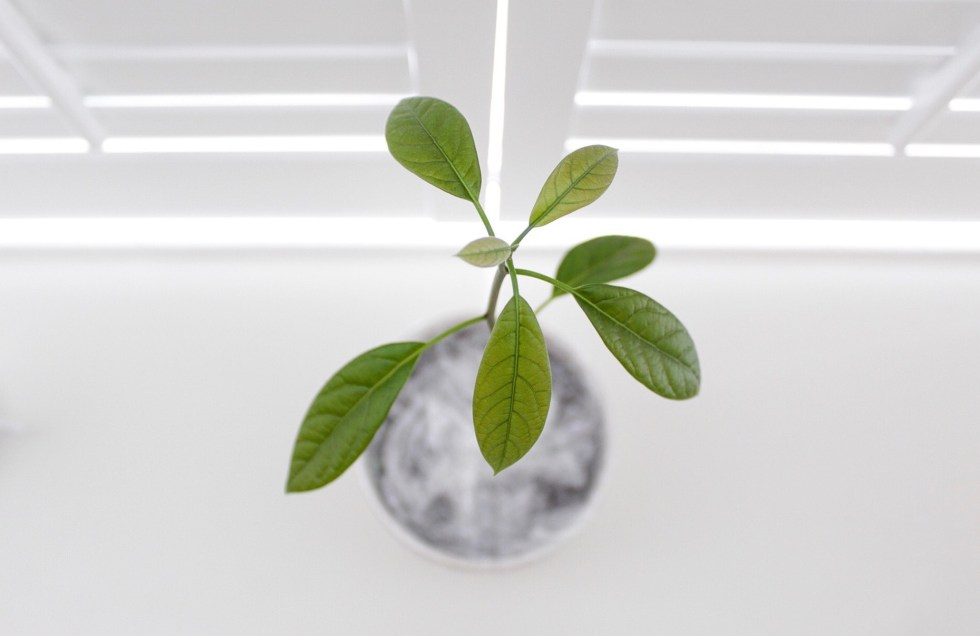 avocadoplant, kweken, verzorgen, rouwvliegjes, rouwvarenmug, rouwvliegjes bestrijden, thathomepage, interieurinspiratie