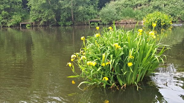 Wild plants: Yellow Flag Iris