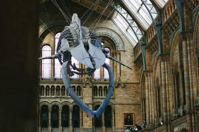 The Natural History Museum's Whale Skeleton, Hope