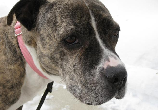 Brindle and white American pitbull terrier with pink collar