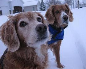 Golden retriever mix and Irish setter mix playing in the snow