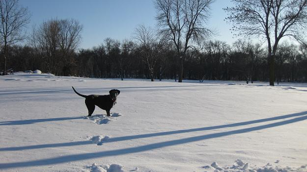 Black lab mix dog Ace in Gooseberry Park Moorhead in the snow