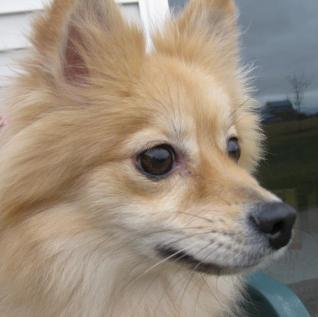 Elli the tan fluffy Pomeranian mix I fostered had separation anxiety