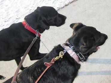 Two black lab mixes out running (black lab/hound mix Ace and black lab/German shepherd mix Stormy)