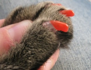 Tabby cat wearing Soft Paws - they seem to work pretty well