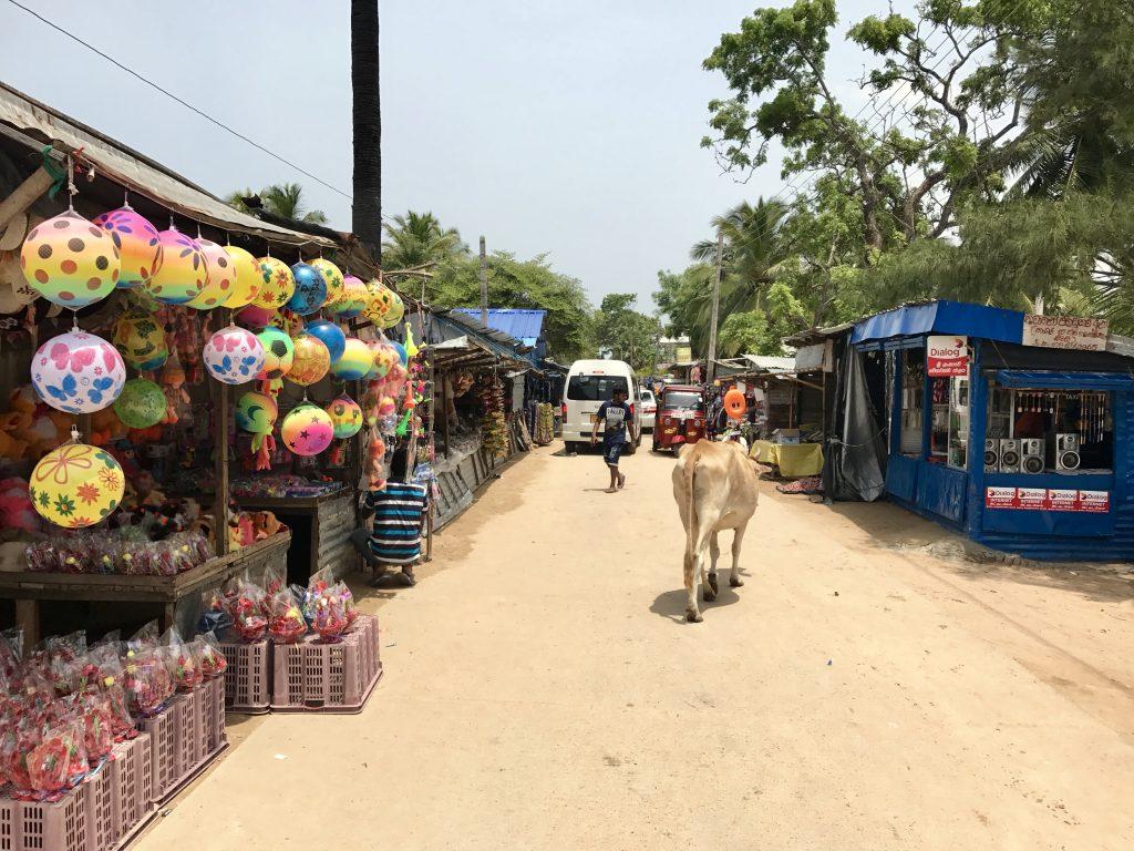 In Sri Lanka lopen de koeien gewoon over straat.