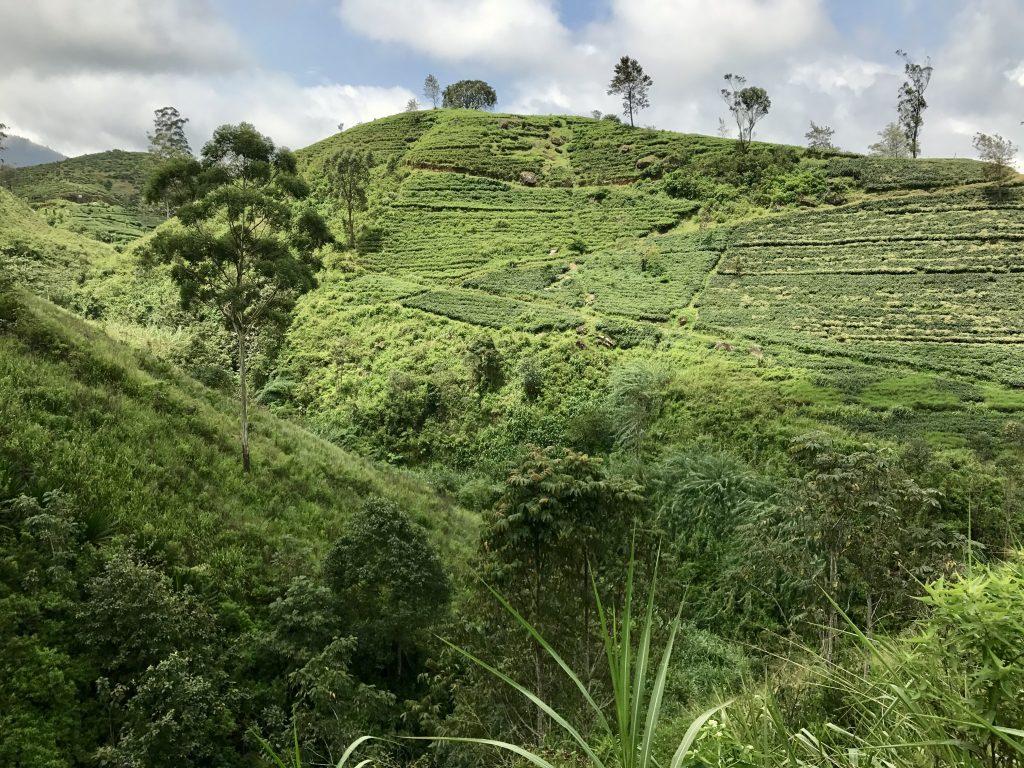 De groenste theeplantages van Sri Lanka