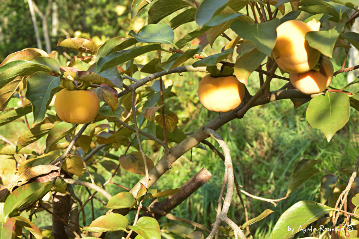 Kaki, owoce które przewidują zimową pogodę!