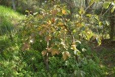 kaki-tree