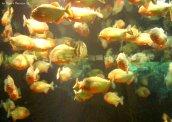 lot of piranhas