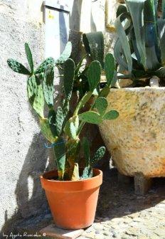 cactus Tellaro