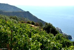 vineyard view on Manarola