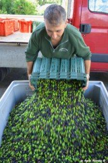 making oil in Liguria 8