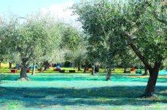 olive grove Liguria