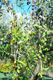 olives on olives tree