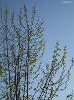 spring tree Liguria