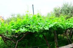 grapevine Volastra