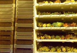 grapes drying for sciacchetrà