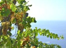 grapes for Sciacchetrà