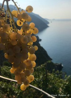 grapes of Sciacchetrà