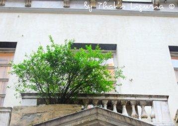 pomegranate tree Genoa